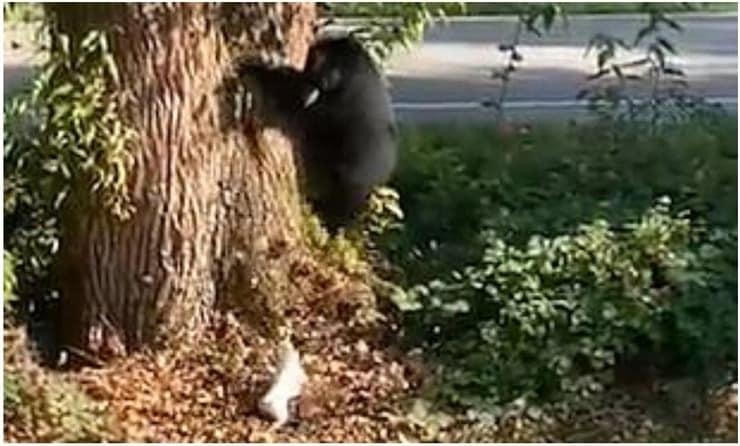 Orso cacciato da un jack russel dal proprio giardino