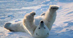 orso polare peli