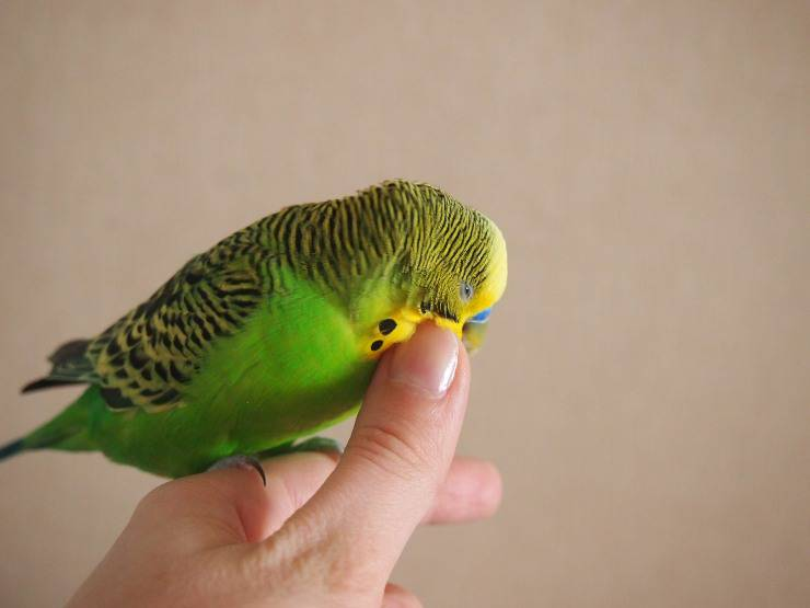 coccole al pappagallo