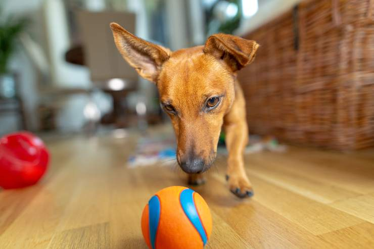 perché il cane gioca da solo
