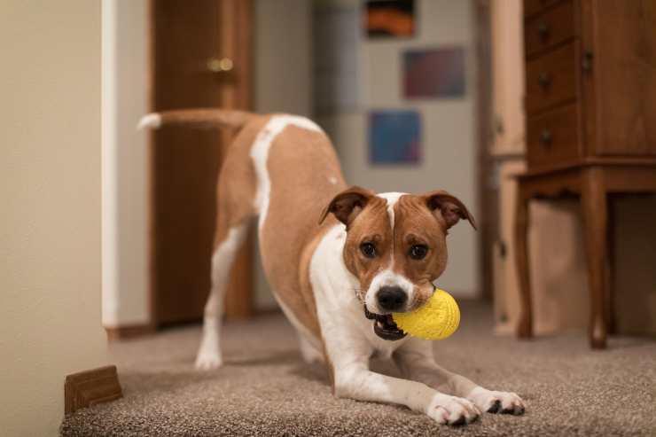 perché il cane gioca dopo aver mangiato