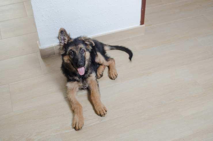 Perché il cane alza un solo orecchio