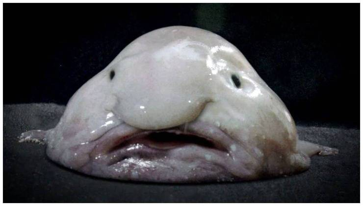 pesce blobfish