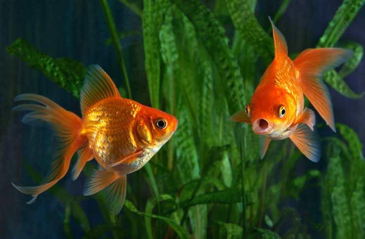 Le piante adatte ai pesci rossi