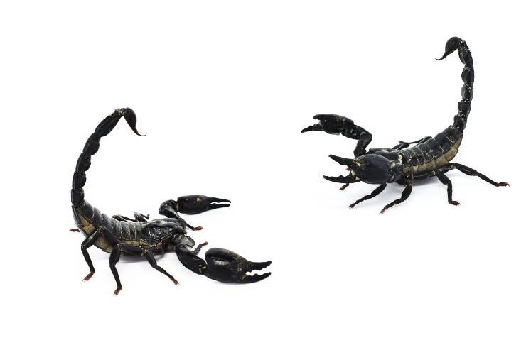 riproduzione dello scorpione nero