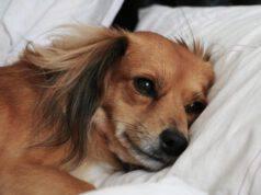 cane soffre crisi di mezza età