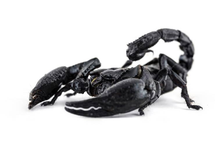 scorpione nero