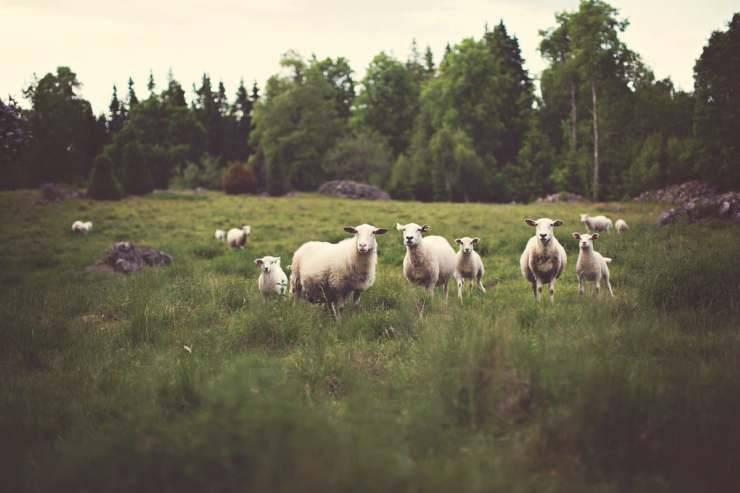 animali della fattoria (Foto Pixabay)