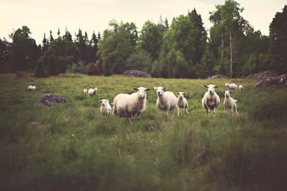 Le pecore nella fattoria (Foto Pixabay)