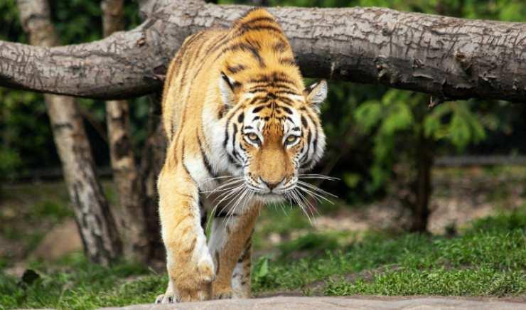 La tigre immersa nella natura (Foto Pixabay)