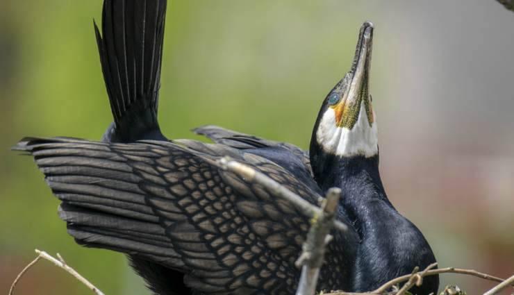 L'uccello cormorano (Foto Pixabay)