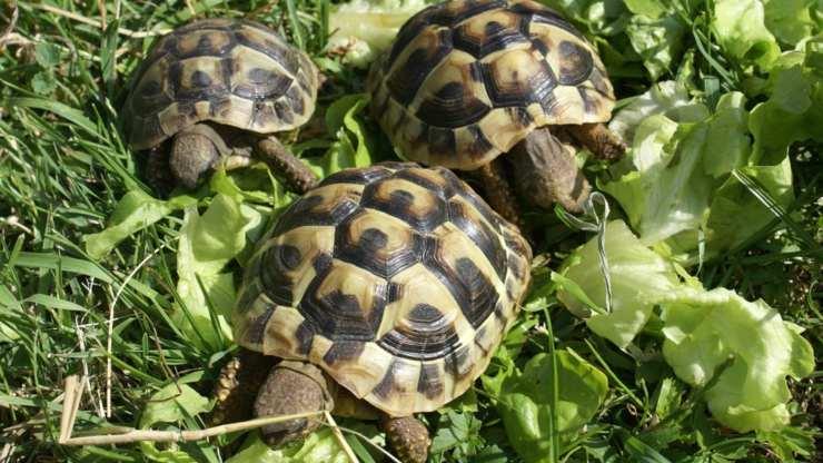 tartarughe la loro vita sociale