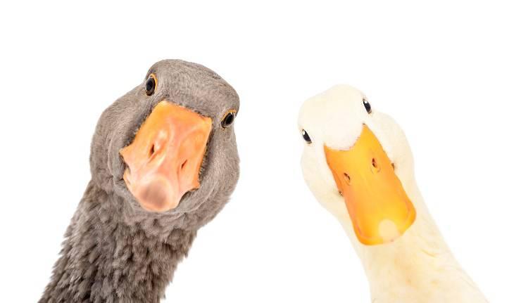 uccelli più grandi