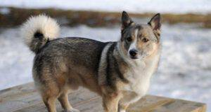 incrocio Husky Welsh Corgi
