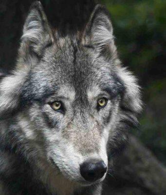 Un lupo in primo piano (Foto Pixabay)