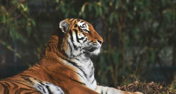Tigre siberiana (Foto Pixabay)