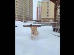 Il cane allegro nella neve (Foto Video)