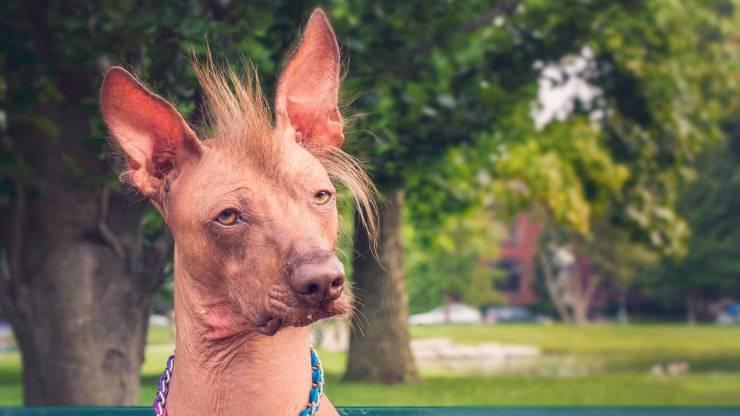 Perro sin pelo del Perú razze cani senza pelo nudi
