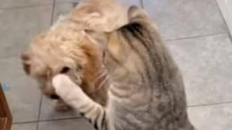 gatto ostacolo passaggio cane