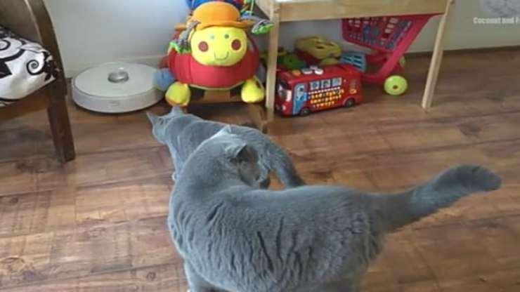 Entrambi i gatti in azione (foto video)