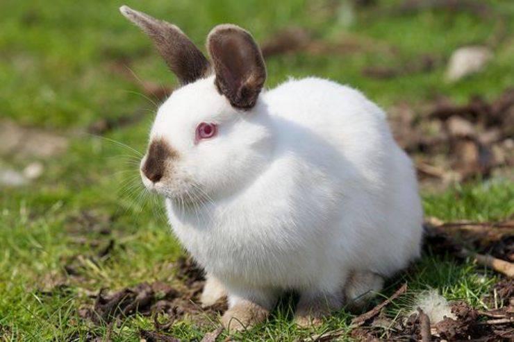 coniglio californiano california