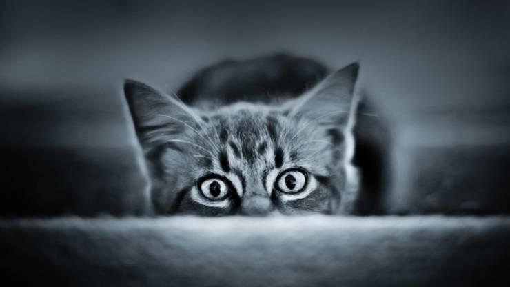 allurofobia paura dei gatti