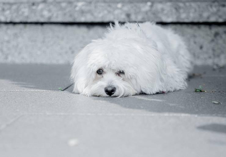 Maltipoo cane incrocio
