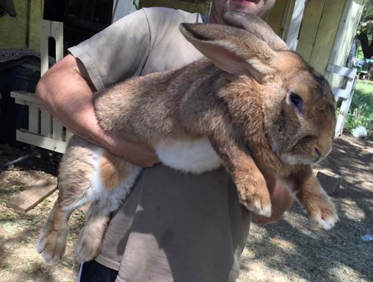 coniglio gigante fiammingo