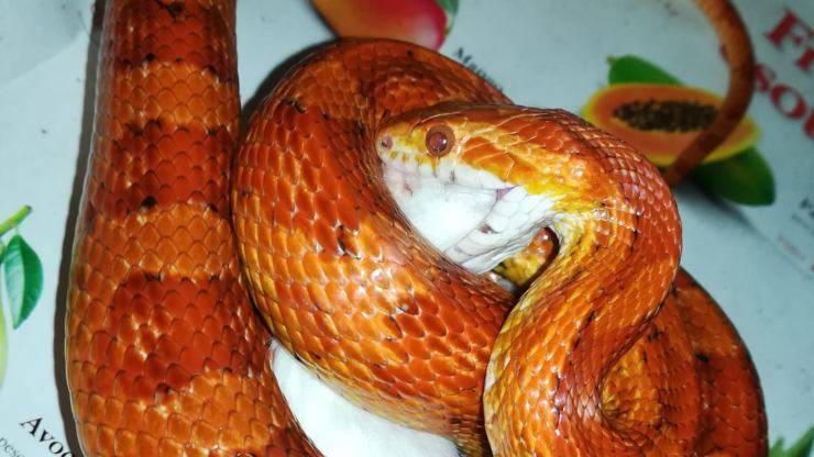 nancy serpente elafe