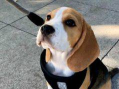 Beagle diffidente (Foto Instagram)