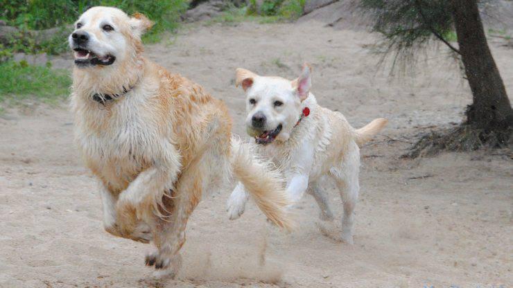 cani labrador e golden retriever giocano
