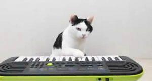 Il gatto che suona il piano (Foto video)