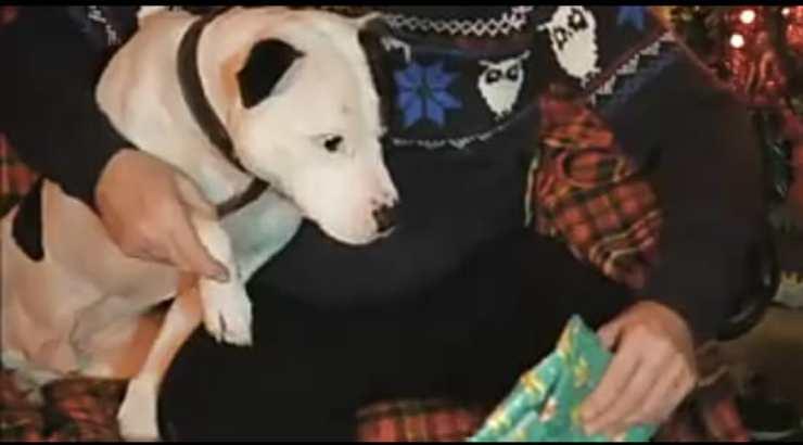 Il pitbull che scarta il regalo (Foto video)