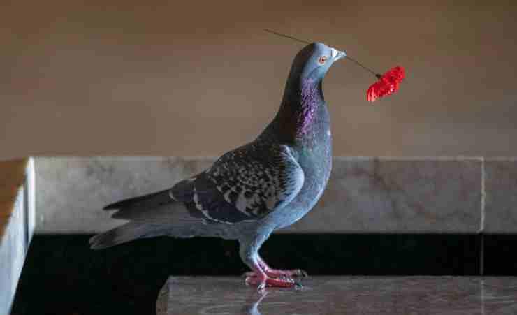 Il piccione con il papavero (Foto Facebook)