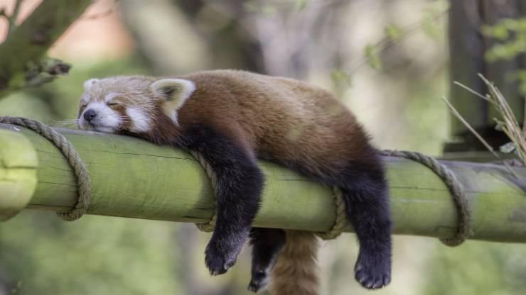 Perché alcuni animali dormono tanto