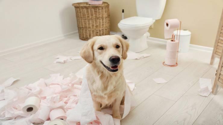 Il cane ha mangiato tampone assorbente