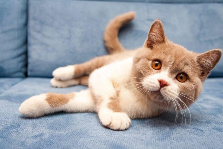 Lesioni alle orecchie del gatto