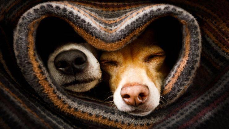 Accoppiamento dei cani