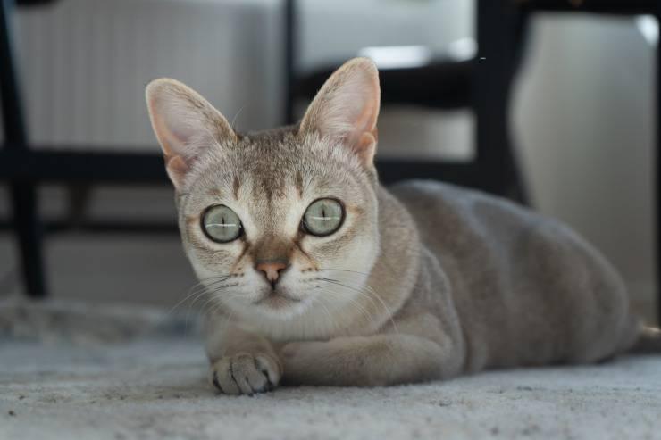 I gatti più piccoli del mondo