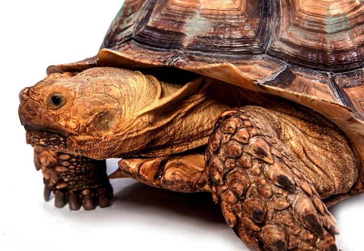 La tartaruga è obesa