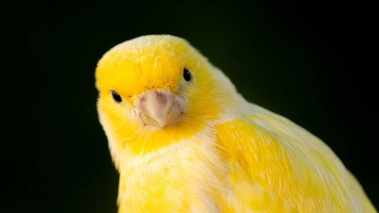 Il canarino non si regge sulle zampe