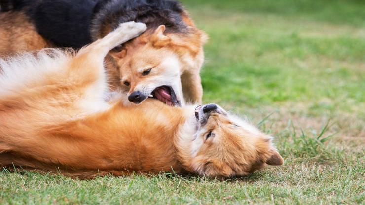 Far riconciliare due cani