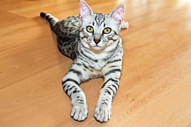 Razze di gatti egiziani