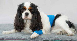 Malattia di Legg-Calvé-Perthes nel cane