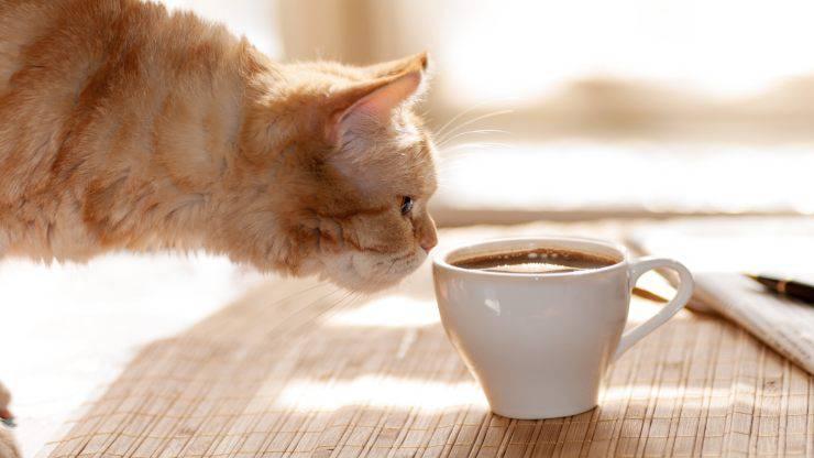 Il gatto beve il caffè