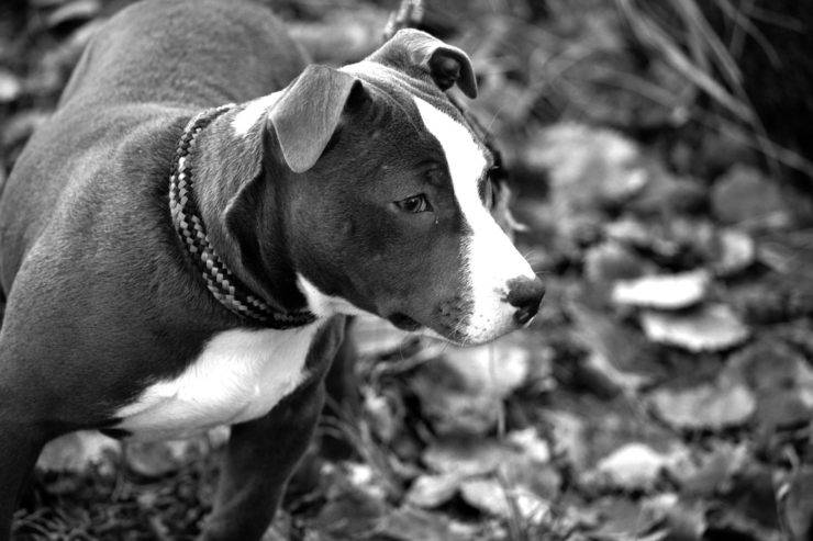 American staffordshire terrier adulto