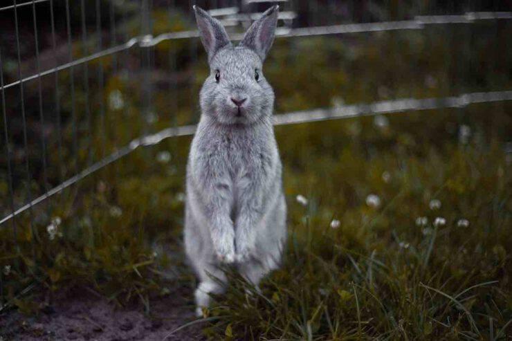 La differenza tra il coniglio selvatico e quello domestico