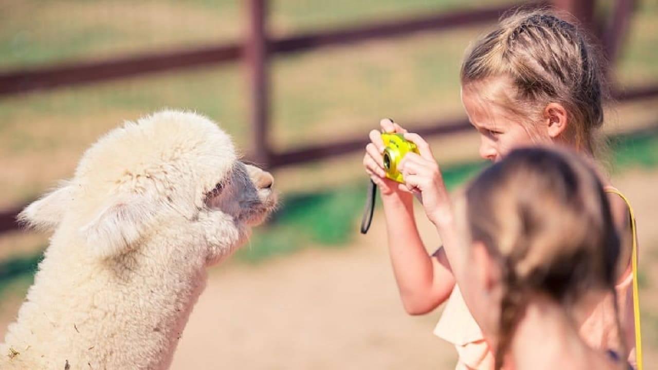 alpaca giornata della gentilezza