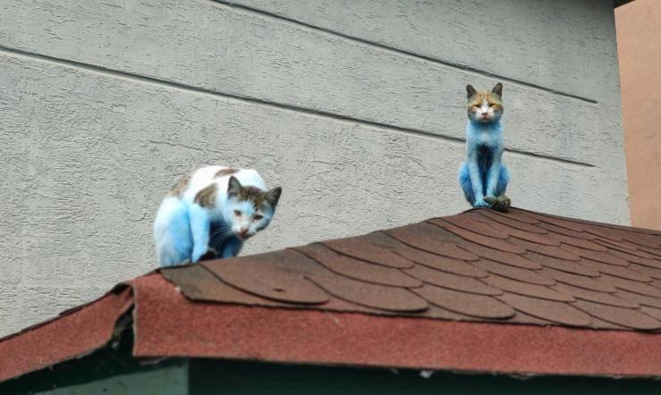 gatti blu