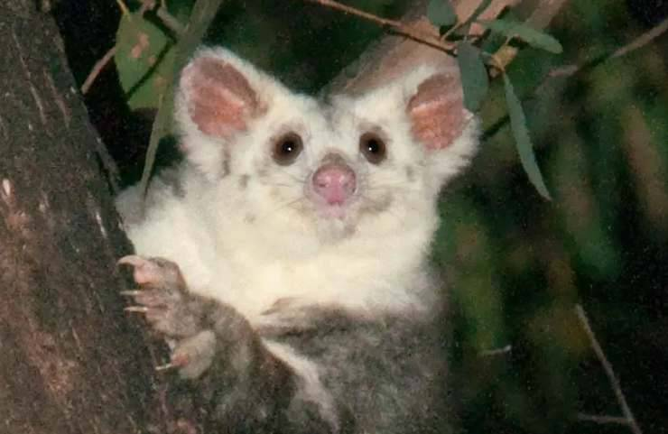 Un adorabile marsupiale (Foto Twitter)